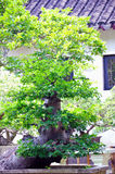 Lingering Garden bonsai Royalty Free Stock Photography