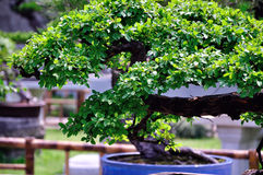 Lingering Garden bonsai Royalty Free Stock Images