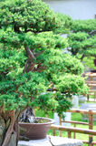 Lingering Garden bonsai Royalty Free Stock Photos