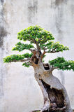 Lingering Garden bonsai Royalty Free Stock Photo