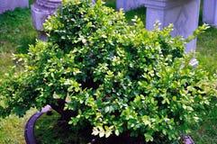 Lingering Garden bonsai Stock Image