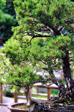 Lingering Garden bonsai Royalty Free Stock Image