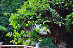 Lingering Garden bonsai Stock Images