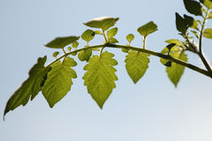 Lingering under tomato leaves. Close-up Royalty Free Stock Image