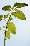 Lingering under tomato leaves. Close-up Royalty Free Stock Photography