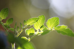 Lingering under tomato leaves. Close-up Stock Photography
