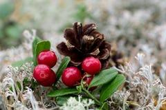 Lingon berries Stock Photos