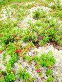 Lingonberries και βρύο Στοκ φωτογραφίες με δικαίωμα ελεύθερης χρήσης