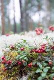 Lingonberries растя в древесинах Стоковое Изображение RF