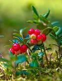 Lingonberries Stock Photo