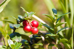 lingonberries Стоковое Изображение