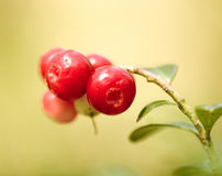 Lingonberries Stock Photography