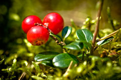 Lingonberries Royalty Free Stock Photos
