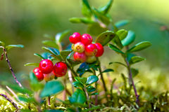 Lingonberries Stock Image
