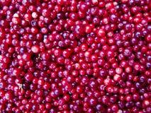 Lingonberries royalty-vrije stock afbeeldingen