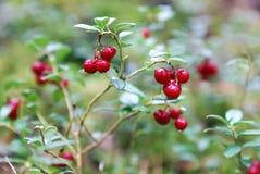 Lingonberries Immagini Stock