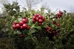 Lingonberries Imagens de Stock