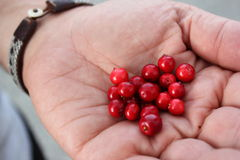 Lingonberries Fotografía de archivo
