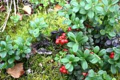 Lingonberries Stockfoto
