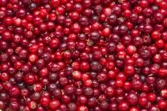 Lingonberries als Hintergrund Lizenzfreie Stockbilder