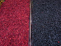 Lingonberries and Blueberries Stock Photo