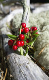 Lingonberries, brusznicy/ Fotografia Stock