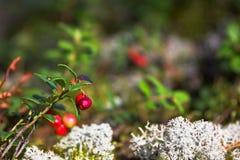 Lingonberries com musgo fotos de stock royalty free