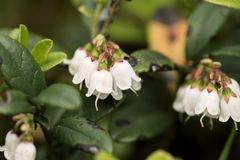 Lingonberries Cowberries flowers Stock Photography