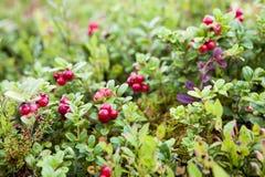 Lingonberries em Bush Imagens de Stock Royalty Free