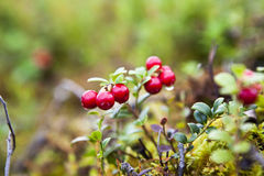 Lingonberries freschi Immagini Stock Libere da Diritti