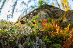 Lingonberries met het omringen van bos royalty-vrije stock afbeelding