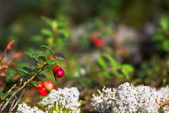 Lingonberries mit Moos lizenzfreie stockfotos