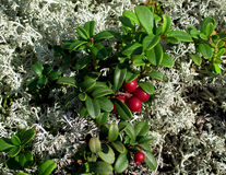 Lingonberries and moss Royalty Free Stock Image