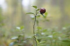 Lingonberries na floresta Fotografia de Stock Royalty Free