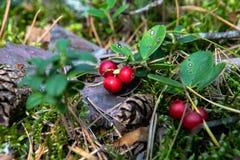 Lingonberries nel legno in uno schiarimento nella foresta immagine stock