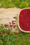 Lingonberries on old board and wicked basket and moss Royalty Free Stock Photo