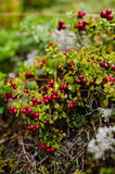 Lingonberries plants Stock Image