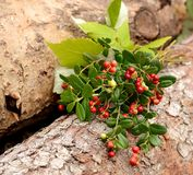 Lingonberries selvaggi maturi rossi Immagine Stock