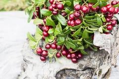 Lingonberries selvaggi maturi rossi in foresta del nord Immagine Stock