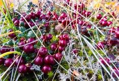 Lingonberries (struikgewasamerikaanse veenbessen) Stock Fotografie
