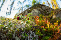 Lingonberries with surrounding forest. Royalty Free Stock Image