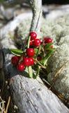 Lingonberries/uve di monte Fotografia Stock