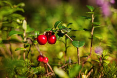 Lingonberries Vaccinium vitis-idaea. In the summer forest, Lithuania Stock Images