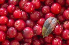 Lingonberries vermelhos (airelas) Imagens de Stock