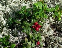 Lingonberries y musgo imagen de archivo libre de regalías