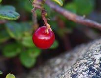 Lingonberry και πέτρα Στοκ Εικόνες