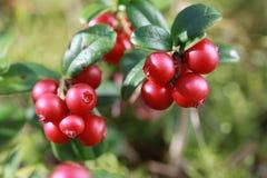 Lingonberry σε έναν θάμνο στα ξύλα Στοκ εικόνα με δικαίωμα ελεύθερης χρήσης