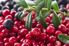 Lingonberry Royalty Free Stock Image
