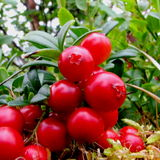 Lingonberry Royalty Free Stock Photos