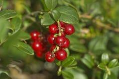 Lingonberry stock afbeelding
